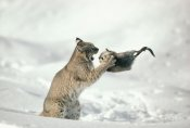 Michael Quinton - Bobcat capturing Muskrat in the winter, Idaho
