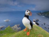 Melvin Redeker - Atlantic Puffin on a cliff, Hermaness National Nature Reserve, Shetland, Scotland
