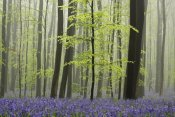 Silvia Reiche - Bluebell carpet in the forest