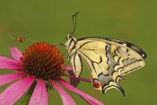 Silvia Reiche - Oldworld Swallowtail on flower, Hoogeloon, Noord-Brabant, Netherlands
