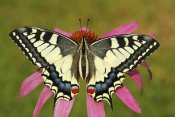 Silvia Reiche - Oldworld Swallowtail butterfly on a flower, Hoogeloon, Noord-Brabant, Netherlands