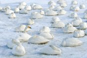 Rob Reijnen - Whooper Swans resting on the snow, Hokkaido, Japan
