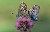 Rob Reijnen - Silver-studded Blue butterfly pair mating on flower, Europe