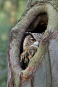 Rob Reijnen - Eurasian Eagle-Owl looking out from a tree cavity, Netherlands