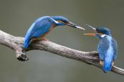 Rob Reijnen - Kingfisher male presenting a fish to female during courtship, Netherlands