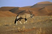 Rob Reijnen - Gemsbok walking across dunes, Sossusvlei, Namib-Naukluft National Park, Namibia