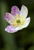 Wim Reyns - Wood Anemone flower