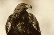 Willi Rolfes - Golden Eagle portrait, Lauvsnes, Norway