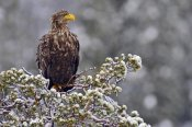 Willi Rolfes - White-tailed Eagle, Lauvsnes, Norway