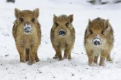 Willi Rolfes - Three Wild Boar piglets, Melle Lower, Saxony, Germany