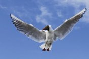 Willi Rolfes - Black-headed Gull in flight, TexelNoord-HollandThe Netherlands