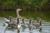 Willi Rolfes - Greylag Goose couple swimming with juveniles, Texel, Netherlands
