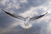 Willi Rolfes - Lesser Black-backed Gull in flight, TexelNoord-Holland, Netherlands