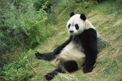 Cyril Ruoso - Giant Panda, Woolong