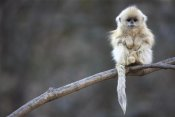 Cyril Ruoso - Golden Snub-nosed Monkey juvenile, Qinling Mountains, China