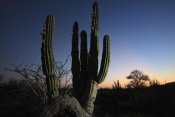 Cyril Ruoso - Cardon cactus at sunset, El Vizcaino Biosphere Reserve, Mexico