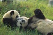 Cyril Ruoso - Giant Panda female and year old cub playing, Chengdu Panda Breeding Research Center, China