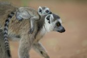 Cyril Ruoso - Ring-tailed Lemur baby riding on mother's back, vulnerable, Berenty Private Reserve, Madagascar
