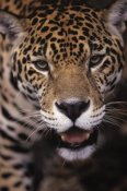 SA Team - Jaguar portrait, Guyana