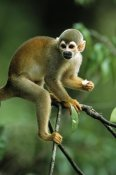 SA Team - South American Squirrel Monkey in tree, holding piece of food, Brazil