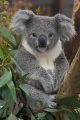 San Diego Zoo - Koala, native to Australia