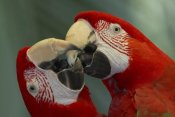 San Diego Zoo - Scarlet Macaw pair kissing, native to South America