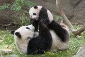 San Diego Zoo - Giant Panda mother and cub playing, native to China