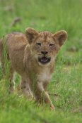 San Diego Zoo - African Lion cub calling, threatened, native to Africa