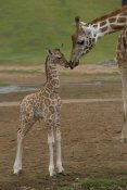 San Diego Zoo - Rothschild Giraffe mother kissing calf, native to Africa