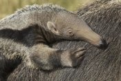 San Diego Zoo - Giant Anteater young on mother's back, native to South America