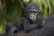 San Diego Zoo - Western Lowland Gorilla baby clinging to mother's back, critically endangered, native to Africa