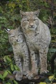 Rob Scholten - Lynx mother with cub, Bavarian Forest National Park, Bavaria, Germany