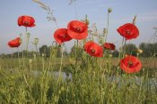Gerard Schouten - Red Poppy flowering on a dike, Utrecht, Netherlands
