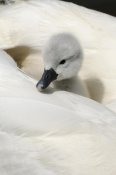 Malcolm Schuyl - Mute Swan cygnet, on back of adult female, Abbotsbury, Dorset, England