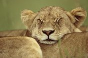 Anup Shah - African Lion resting head on back of pride mate, Masai Mara, Kenya