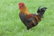 Gary K. Smith - Domestic Chicken, farmyard cockerel on grass, Norfolk, England