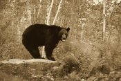 Jurgen and Christine Sohns - Black Bear adult, standing on rock in woodland, Minnesota