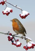 Kim Taylor - European Robin singing from Cotoneaster bush, England *digital composite*