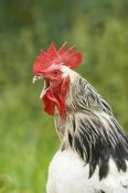 David Tipling - Domestic Chicken, Light Sussex cockerel, crowing, close-up of head and neck, Sussex, England, august