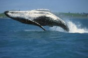 Barbara Todd - Humpback Whale breaching, Kaikoura, New Zealand