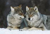 Krijn Trimbos - Two Gray Wolves in the snow, Norway.