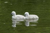 Duncan Usher - Two Mute Swan cygnets on lake