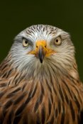 Michiel Vaartjes - Red Kite portrait, Netherlands.