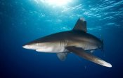 Dray van Beeck - Oceanic White-tip Shark close to the surface
