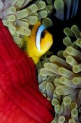 Dray van Beeck - Red Sea Anemonefish hiding in Magnificent Sea Anemone, Red Sea, Egypt
