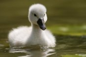 Marcel van Kammen - Mute Swan chick on the water