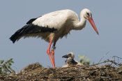 Marcel van Kammen - White Stork banded adult with chick on nest, Earnewald Friesland, Netherlands