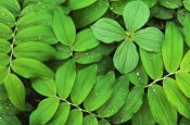 Martin Van Lokven - Eurasian Solomon's Seal detail of leaves, medicinal plant, Europe