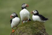 Rinie van Meurs - Atlantic Puffin group, Faroe Islands