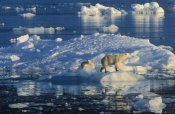 Rinie Van Meurs - Polar Bear adult and cub on ice, Spitsbergen